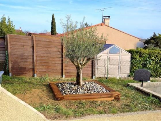 olivier implanté dans un jardin